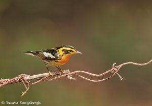 7521 Adult Male Breeding Blackburnian Warbler (Setophaga fusca), Galveston Island, Texas