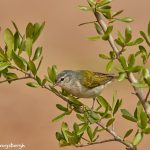 7523 Tennessee Warbler (Oreothlypis peregrina), Galveston Island, Texas
