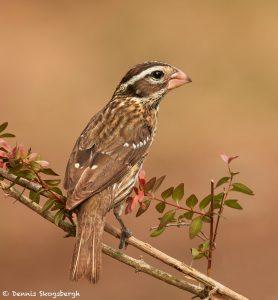 7524 Female Rose-breasted Grosbeak (Pheucticus ludovicianus), Galveston Island, Texas