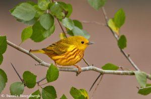 7526 Yellow Warbler (Setophaga petechia), Galveston Island, Texas