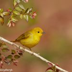 7527 Yellow Warbler (Setophaga petechia), Galveston Island, Texas