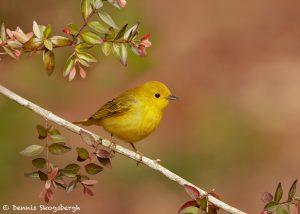 7527 Yellow Warbler (Setophaga petechia), Galveston Island, Texas