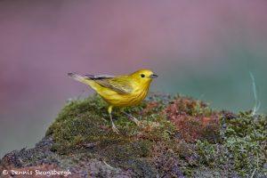 7529 Yellow Warbler (Setophaga petechia), Galveston Island, Texas