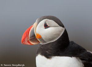 7535 Atlantic Puffin (Fratercula arctica) with Breeding Plumage, Latrabjarg Bird Cliffs, Iceland