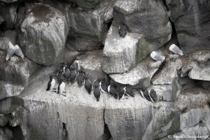 7560 Nesting Cliffs, Langanes Peninsula, Iceland
