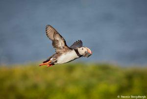 7564 Atlantic Puffin (Fratersula arctica), Grimsey Island, Iceland