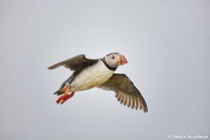 7566 Atlantic Puffin (Fratercula arctica), Grimsey Island, Iceland