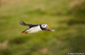 7567 Atlantic Puffin (Fratercula arctica), Grimsey Island, Iceland