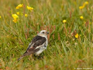7579 Snow Bunting (Plectrophenax nivalis), Grimsey Island, Iceland