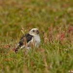 7580 Snow Bunting (Plectrophenax nivalis), Grimsey Island, Iceland