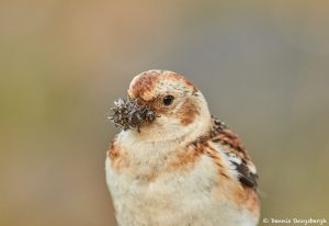 7581 Snow Bunting (Plectrophenax nivalis), Food Gathering, Grimsey Island, Iceland