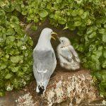 7585 Black-legged Kittiwake and Hatchling (Rissa tridactyla), Grimsey Island, Iceland