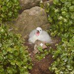 7586 Northern Fulmar (Fulmarus glacialis) Hatchling, Grimsey Island, Iceland