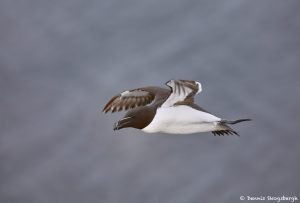 7587 Razorbill (Alca torda), Grimsey Island, Iceland
