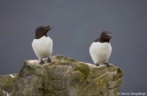 7591 Razorbills (Alca torda), Grimsey Island, Iceland