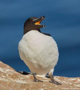 7593 Razorbill (Alca torda), Grimsey Island, Iceland