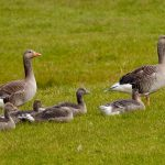 7602 Pink-footed Geese (Anser brachyrhynchus), Iceland