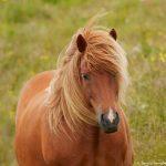 7603 Icelandic Horse, Northern Iceland