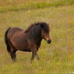 7604 Icelandic Horse, Northern Iceland