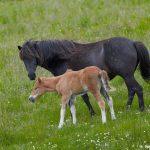 7605 Icelandic Horse, Northern Iceland