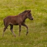 7606 Icelandic Horse, Foal, Northern Iceland