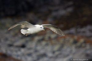 7610 Northern Fulmar (Fulmarus glacialis), Grimsey Island, Iceland