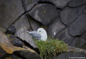 7611 Northern Fulmar (Fulmarus glacialis), Iceland