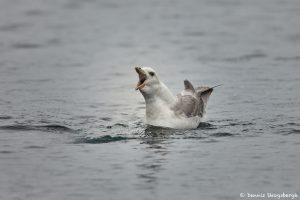 7612 Northern Fulmar (Fulmarus glacialis), Grimsey Island, Iceland