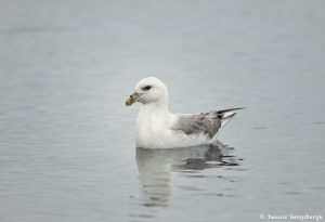 7613 Northern Fulmar (Fulmarus glacialis), Grimsey Island, Iceland
