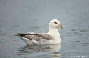 7614 Northern Fulmar (Fulmarus glacialis), Grimsey Island, Iceland
