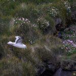 7620 Northern Fulmar (Fulmarus glacialis), Grimsey Island, Iceland