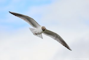 7623 Black-headed Gull (Chroicocephalus ridibundus), Iceland