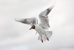 7624 Black-headed Gull (Chroicocephalus ridibundus), Iceland