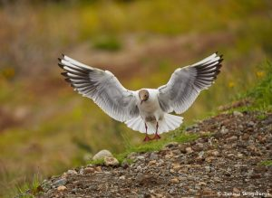 7630 Black-headed Gull (Chroicocephalus ridibundus), Iceland