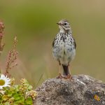 7633 Meadow Pipit (Anthus pratensis), Grimsey Island, Iceland