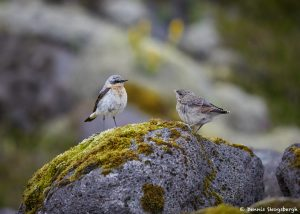 7634 Northern Wheatear (Oenanthe oenanthe) and Juvenile (R), Iceland