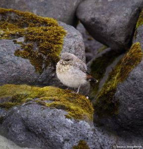 7635 Juvenile Northern Wheatear (Oenanthe oenanthe), Iceland