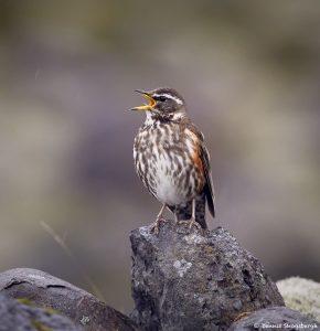 7637 Redwing (Turdus iliacus), Iceland