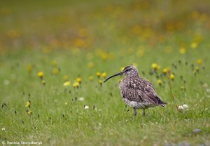 7638 Whimbril (Numenius phaeopus), Iceland