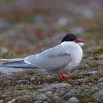7641 Arctic Tern (Sterna paradisaea), Jokulsarlon Lagoon, Iceland