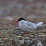 7642 Arctic Tern (Sterna paradisaea), Jokulsarlon Lagoon, Iceland