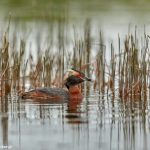 7644 Adult Breeding Horned Grebe (Podiceps auritis), Iceland
