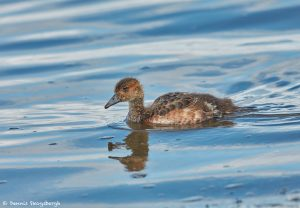 7647 Young Eurasian Green-winged Teal (Anas crecca), Iceland
