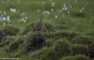 7649 Female Breeding Rock Ptarmigan (Lagopus muta), Iceland