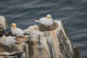 7650 Nesting Northern Gannet (Morus bassanus), Langanes Peninsula, Iceland
