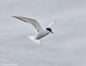 7658 Arctic Tern (Sterna paradisaea), Grimsey Island, Iceland