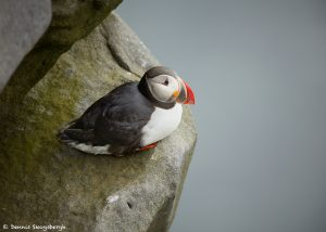 7661 Atlantic Puffin (Fratercula arctica), Grimsey Island, Iceland