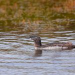 7664 Juvenile Red-necked Loon (Gavia stellata), Iceland