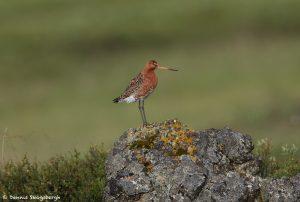 7666 Black-tailed Godwit (Limosa llimosa), Iceland