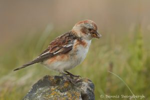 7679 Snow Bunting (Plectrophenax nivalis), Grimsey Island, Iceland